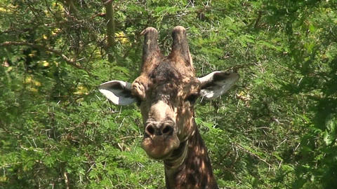 Malawi: giraffe in a wild 5a Stock Video Footage