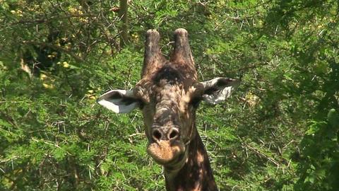 Malawi: giraffe in a wild 5a Stock Video Footage