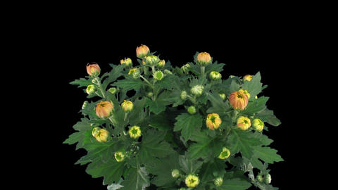 Time-lapse of chrysanthemum flower buds opening 1a with... Stock Video Footage