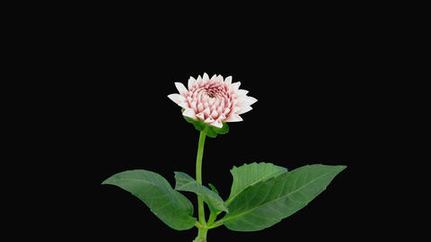 Time-lapse of opening pink dahlia 7 with alpha matte Stock Video Footage