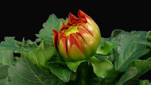 Time-lapse of blooming red dahlia with ALPHA matte front 4a Stock Video Footage