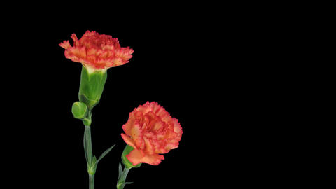 Time-lapse of growing red Dianthus flower with alpha... Stock Video Footage