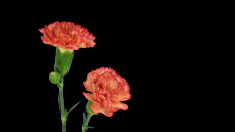 Time-lapse of growing red Dianthus flower with alpha matte 4b Footage