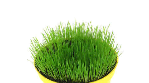 Time-lapse of growing decorative Easter grass isolated on... Stock Video Footage