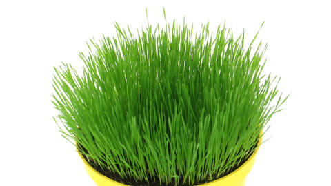 Time-lapse of growing decorative Easter grass isolated on white 3 Footage
