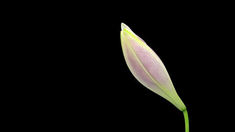 Time-lapse of opening pink Longiflorum lily isolated on black 5 (DCI-2K) Footage