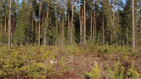 Area is surrounded with pine Pinus Silvestris tree Footage