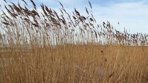 Wheat reed grass waving on the breeze of the wind Footage