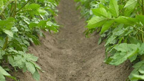 Growing potatoes. Rows of plants Footage