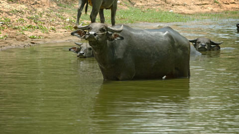 Buffalo in a large puddle looks unkindly Footage