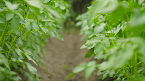 Rows of growing potatoes green plants Footage