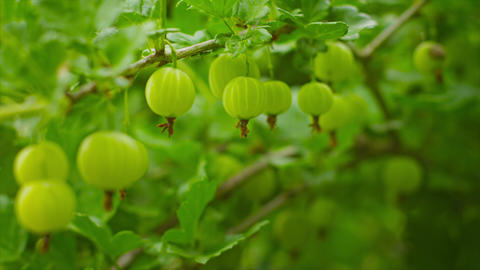 Green gooseberries ripen on the bushes Footage