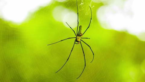 Biggest spider Golden Orb in web in the rainforest Footage