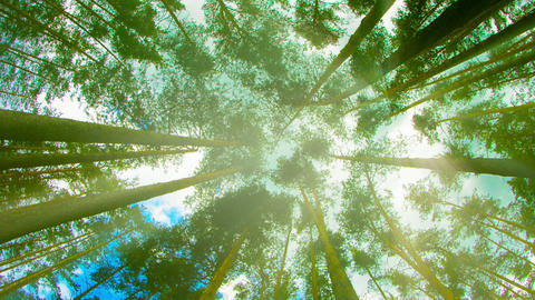Tops of tall pine trees in the forest. Looking up  Footage