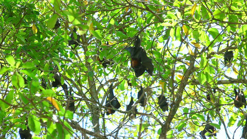 Flying Foxes stock footage