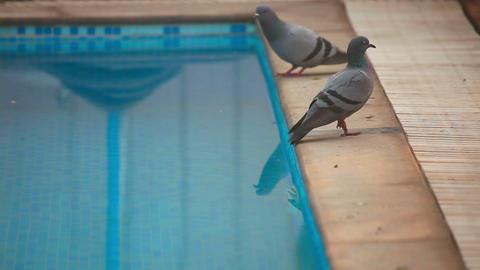 Pigeons Footage