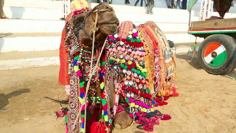 Decorate camel Footage