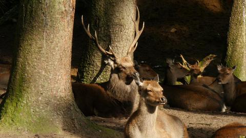 4K Uhd herd of japanese sika deers lying in forest Footage