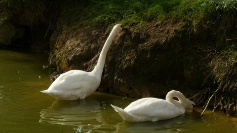 4K Uhd white swans feeding at bankside of a lake Footage