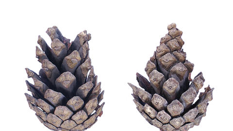 Time-lapse of opening pine cone with ALPHA 1c1 Footage