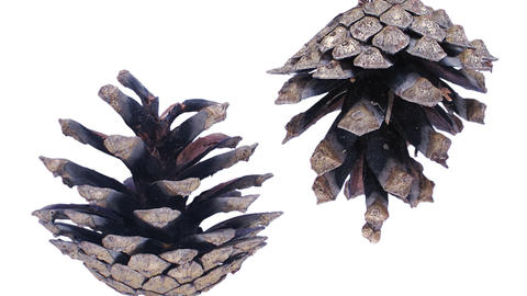Time-lapse Of Opening Pine Cone With ALPHA 1d1 stock footage