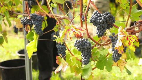 Wine Harvesting stock footage