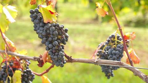 Wine harvesting Footage