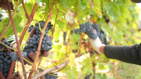 Wine Harvesting stock footage