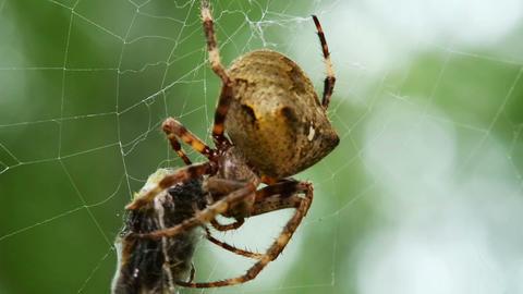 Spider Eats Its Prey - Macro Shot stock footage