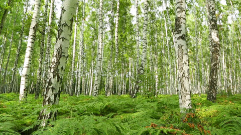 nice summer birch forest - slider dolly shot Footage