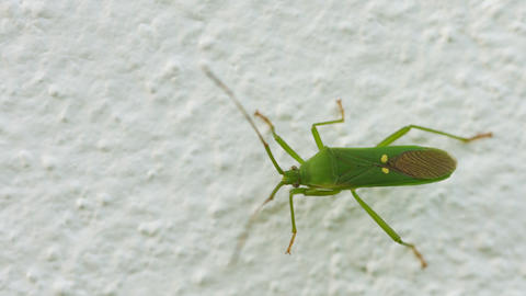 Green shield bug on the wall close-up. Insects of  Footage