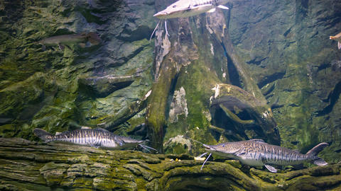 Two Tiger Shovelnose Catfishes At The Bottom Of Th stock footage