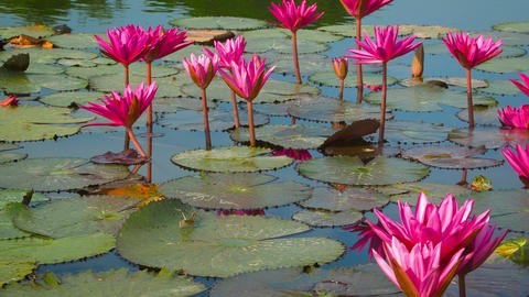 Water lilies in a pond. Shoot with panning Footage