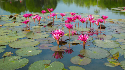 Water lilies on a pond. Flowering period. Thailand Footage