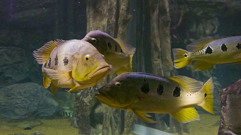 A Flock Of Large Fish In The Water stock footage