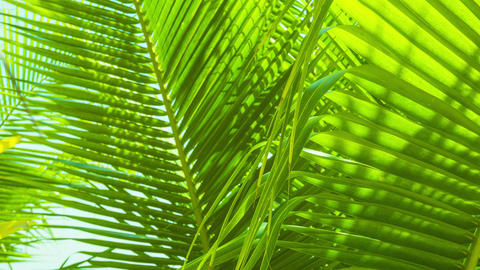 Palm leaves swaying in the breeze Footage