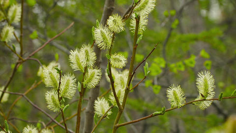 Pussy willow in northern forest Footage
