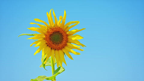 Sunflower against the blue sky Footage