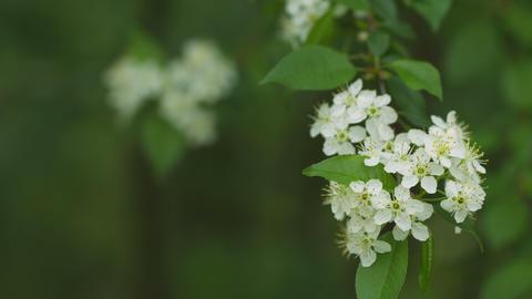 White cherry blossom close-up Footage