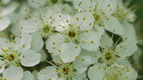 Flowers Of Cherry Close-up stock footage