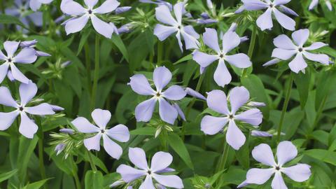 Blue Phlox divaricata flowers close-up Footage