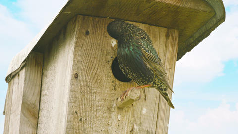 Starling sits on a birdhouse Footage