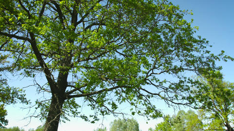 Large oak tree. Vertical panning Footage
