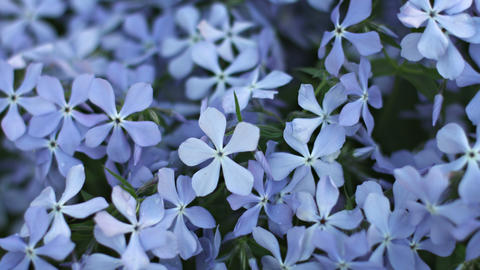 Blue Phlox flowers on flower bed close-up Footage