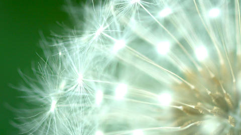Dandelion seeds close up Footage