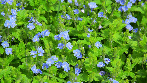 Small blue flowers in the flowerbed - Veronica Footage