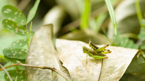 Two grasshoppers copulating on tropical rainforest Footage