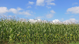 4K Cornfield In Late Summer Day stock footage