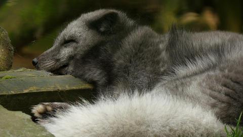 4K Uhd polarfox sleeping Footage