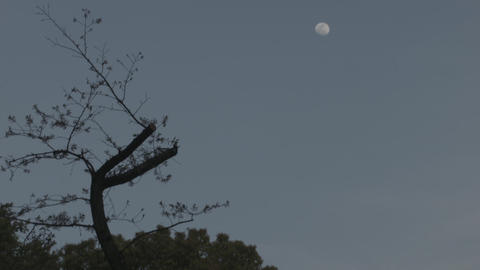trees and moon Footage